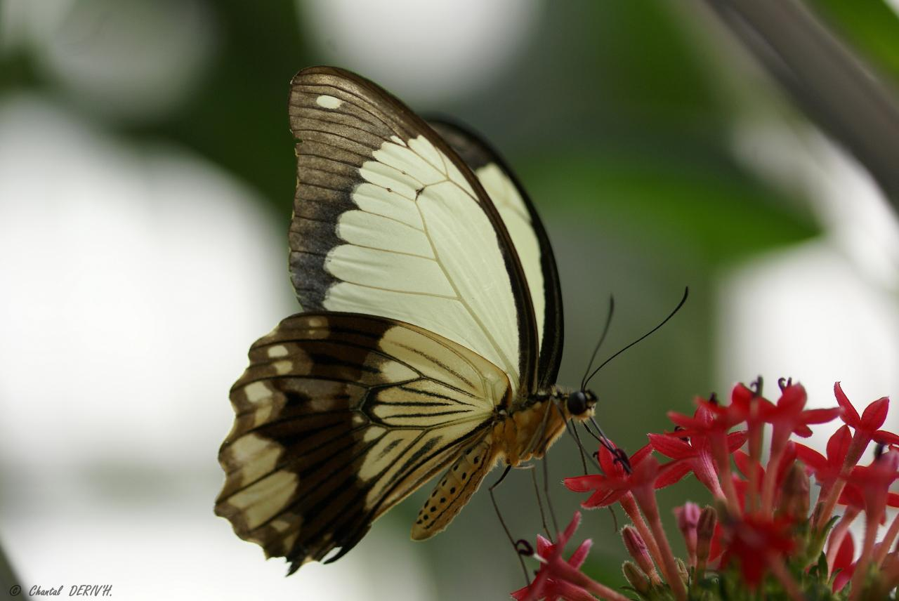 Papilio Dardanus - Ribeauvillé -FRANCE