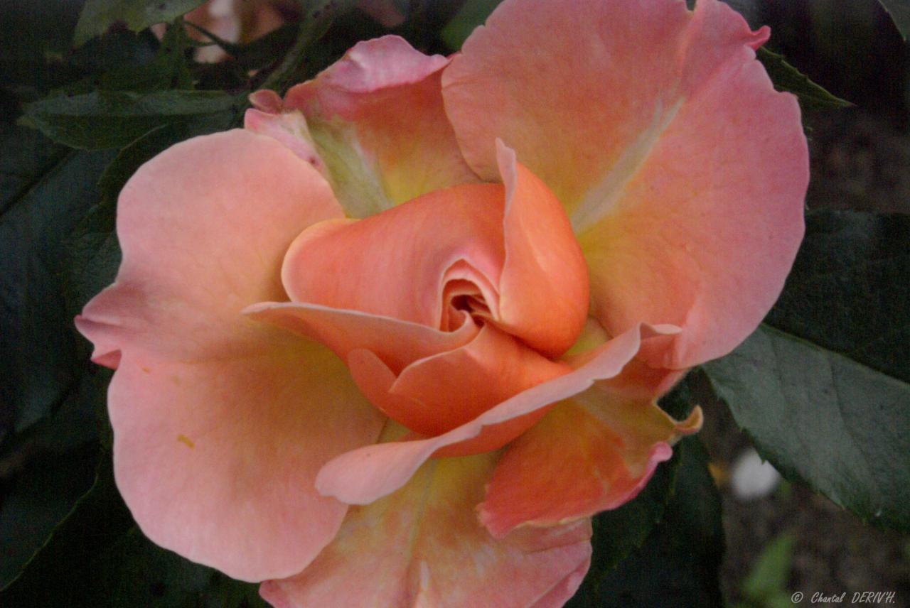 Belle comme une rose - BELLEVAUX