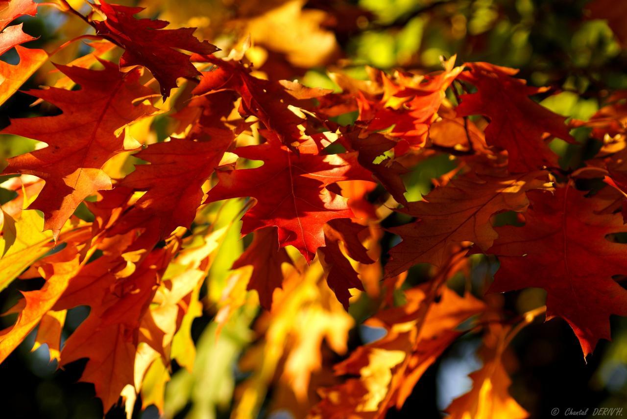 Feuilles de chêne canadien - OVIFAT