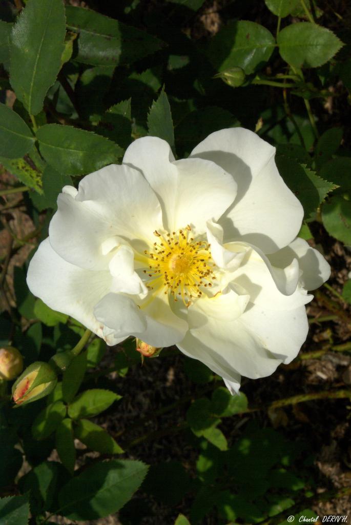 Rose - BELLEVAUX