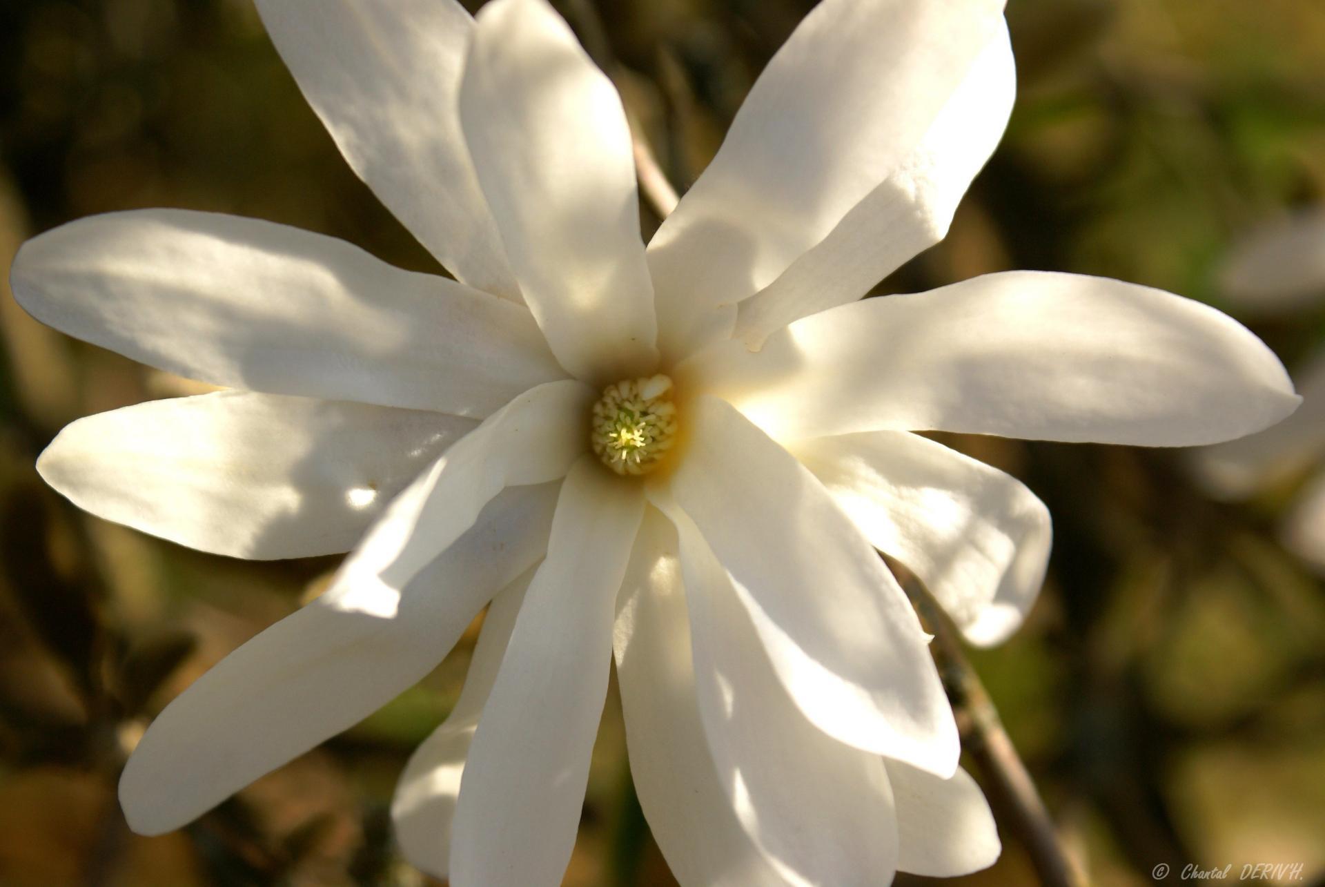 Magnolia stellata ou magnolia étoilé